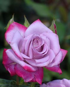 Hybrid Tea Rose 'Par Beautiful gorgeous pretty flowers