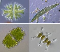 Desmids, Microscopic Plants of Unusual Beauty and Oddball Behavior and Desmids at High Res, and a Slight Technical Glitch by Jennifer Frazer at The Artful Amoeba.