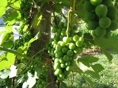 Growing your own Grapes