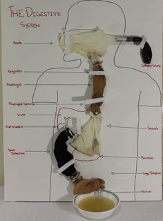 Working Model of the Digestive System