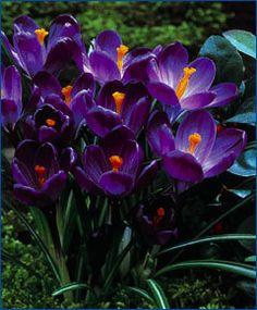 """Crocus vernus Flower Record  Pale spectrum-violet with a darker base. Bulb size: 9 cm/up. April. 5"""". HZ: 4-8.    Catalog #3112   100/$14.25500/$68.40  1000/$131.10"""