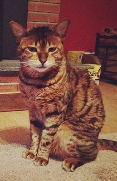 tabby town of tolland animal control page liked july 5 edited bailey is missing from juniper dr in coventry near south st call keith 860 306 6597
