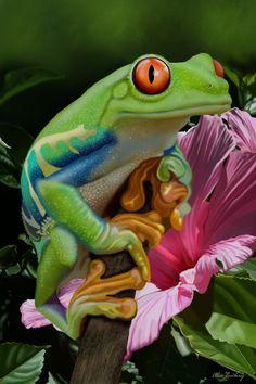 Red eyed tree frog by doormouse1960.deviantart.com on @deviantART