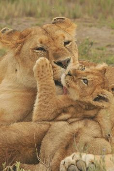 Motherly love lions