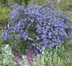 Big arching evergreen shrub with shiny dark green foliage, fast growing 6-8' high and 8-10' wide. Dazzling display of deep cobalt blue bloom April and May is a jaw dropper! This old cultivar tolerates heavy soil and summer irrigation better than most of the genus so is more garden friendly. Provides cover for birds and seeds attract quail, finches and more. Full sun, drought tolerant, deer resistant.
