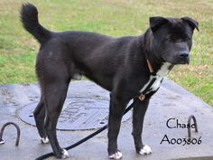 SCHEDULED FOR TRANSPORT 3-31-15. update: Chase was adopted from Foothills Animal Shelter in Golden, CO. Transports save lives! Pinned 4-16-15.