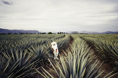 Photograph of Tequila Fields by Andy Anderson - orientally taken for a personal project