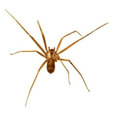 14 best brown recluse images brown recluse spider get rid of rh pinterest com