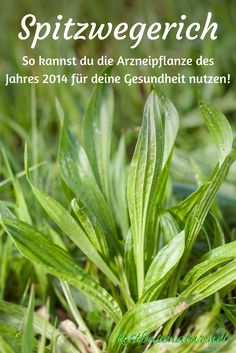 Clever recipes and tips for ribwort - Clevere Rezepte und Tipps für den Spitzwegerich The plantain is one of the most widespread wild plants. Use its leaves, flowers, seeds and roots as food and for your health! Healing Herbs, Medicinal Plants, Herb Garden, Garden Plants, Edible Wild Plants, Edible Garden, Gardening Tips, Outdoor Gardens, Healthy Life