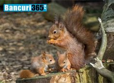 British Red Squirrel is a forum for all those interested in red squirrel conservation and grey squirrel control with links to current activity. Red Squirrel Uk, Wildlife Photography, Animal Photography, Black Jaguar, Siberian Tiger, Tree Frogs, African Elephant, Snow Leopard, Cute Baby Animals