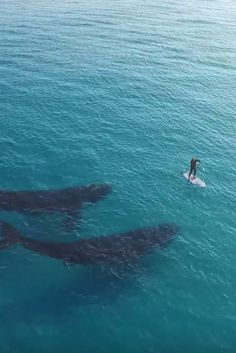 pair of Southern Right whales, one of the rarest marine mammals at Esperance Western Australia