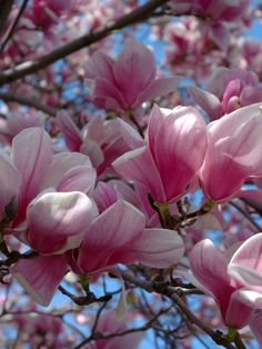 Pink Southern Magnolia tree makes me happy. It's so beautiful!