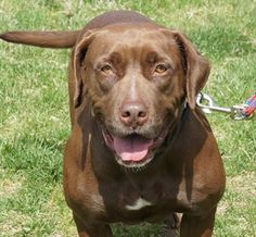 Dixie is a chocolate lab in NC looking for her forever home. She would do best in a home without small dogs.