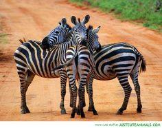 zebra voices: chers amis à rayures...