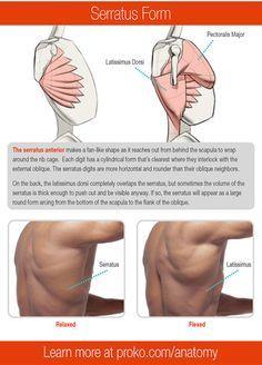 Human Anatomy Drawing, Human Body Anatomy, Muscle Anatomy, Anatomy Back, Anatomy Study, Body Reference, Anatomy Reference, Anatomy Sculpture, Anatomy Practice