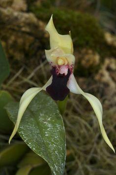Maxillaria soconuscana