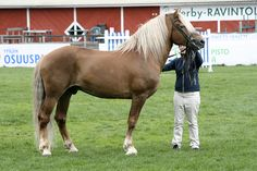 Finnhorse stallion Priori