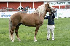Finnhorse stallion Priori