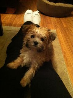 Josh and I want one....such a cute dog a morkie is!