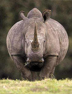 Los unicornios si existen, son gordos, grises y la gente les llama Rinocerontes.  Un rinoceronte en el Parque de Animales Salvajes Kragga Kamm /