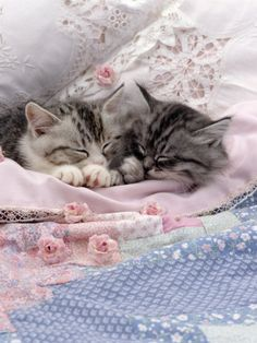 Domestic Cat, Two Chinchilla-Cross Kittens Sleeping in Bed