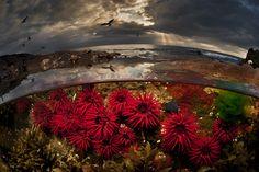 "Matty Smith's Photographs ""Crimson Tide"" – Waratah Anemones, Port Kembla, NSW Australia"