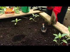 Papriky vysadba.mp4 - YouTube Gardening, Youtube, Flowers, Garten, Florals, Lawn And Garden, Garden, Flower, Blossoms