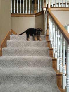 German shepherd puppy, mastering the stairs.