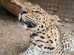 mutant leopards the messybeast - HD5152×3864