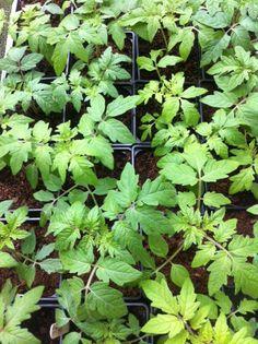 Bud Garden Centre Garden Centre, Car Parking, Bud, Herbs, Herb, Gem, Eyes, Knob, Medicinal Plants