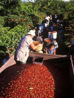 Coffee region - Costa Rica has a tradition of exporting one of the best coffees in the world. Coffee Study, Coffee Farm, Coffee Club, Coffee Plant, Coffee Time, Coffee Coffee, Coffee Shop, Best Organic Coffee, Best Coffee