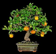 Tricks For Bonsai Growing in Houston Lake, Missouri Bonsai Fruit Tree, Bonsai Art, Bonsai Plants, Bonsai Garden, Garden Trees, Fruit Trees, Herb Garden Kit, Plantas Bonsai, Types Of Herbs