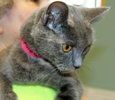#27121 PRINCESS BUTTERCUP is an unusual looking DSH dilute gray lady cat with beautiful amber eyes.  She is between 3 and 5 years old, weighs 10 pounds and is already spayed. Saint Joseph Animal Shelter 701 Lower Lake Road Saint Joseph, MO 64504 (816) 271-4877