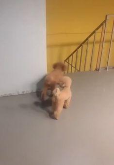 A puppy with a sense of humor - Hunde - Perros Graciosos Funny Dog Videos, Funny Animal Memes, Funny Animal Pictures, Funny Dogs, Funny Puppies, Dog Memes, Funny Humor, Funny Animal Photos, 9gag Funny