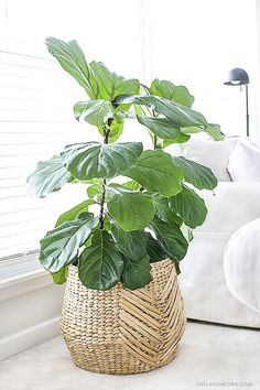 The fiddle leaf fig tree is an ideal indoor plant that could be a low upkeep pla. , The fiddle leaf fig tree is an ideal indoor plant that could be a low upkeep pla. The fiddle leaf fig tree is an ideal indoor plant that could be a . Cool Plants, Potted Plants, Garden Plants, Plants Indoor, Plant Pots, Indoor Plant Decor, Ikea Plants, Zz Plant, Plant Basket
