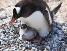 Ocean News: #Climate change making penguins hungry, underwater volcano discovered. Description from pinterest.com. I searched for this on bing.com/images