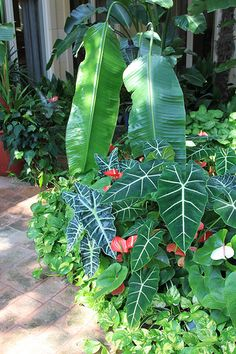 African Mask - - - Also known as the African mask or Kris plant, Alocasia doesn't come from Africa at all. It gets its name from its resemblance to the hand carved ceremonial masks found there but actually hails from the Philippine Islands.  There are over fifty species of the Kris plant and Alocasia hybrids. Grown for its striking foliage, the African mask plant is not an easy care houseplant.