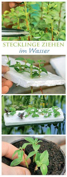 Stecklinge - All For Garden Garden Types, Love Garden, Herb Garden, Garden Beds, Garden Care, Balcony Flowers, Balcony Plants, Garden Plants, Vegetable Planters