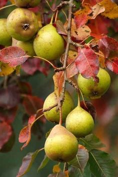 Pears brings back so many memories of my Mom canning pear perseveres, and the crisp days, Apple and Pear cider . Fresh pear or apple cake. Autumn Day, Autumn Leaves, Autumn Song, Photo Fruit, Expressions Photography, Spiced Pear, Mourning Dove, Pyrus, Fruit And Veg