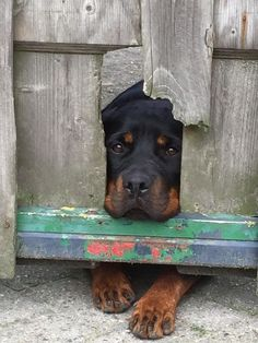 All the things we all adore about the Loyal Rottweiler Puppies Big Dogs, I Love Dogs, Cute Dogs, Dogs And Puppies, Doggies, Chihuahua Dogs, German Dog Breeds, Rottweiler Puppies, Rottweiler Facts