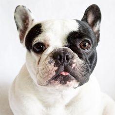 French Bulldog, @estellemtt on instagram