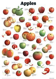 Apples Art Print by Guardian Wallchart Easyart.com