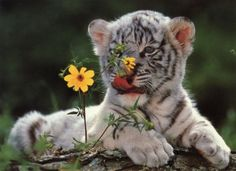 White tigers...so sweet!