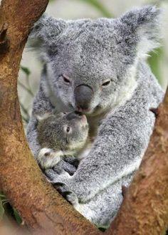 """Le koala doit son nom à la langue aborigène et signifie """"ne boit pas""""."""