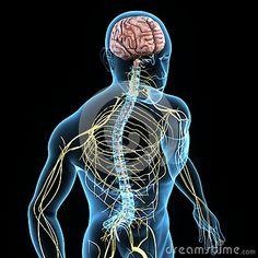 sistema nervoso 3d - Pesquisa Google