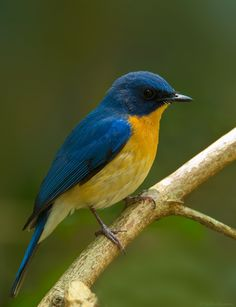 IMG_2231-Tickles-BlueFlycatcher.jpg