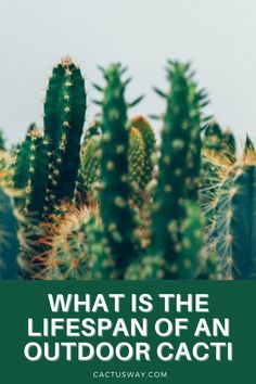 The lifespan of a cactus typically ranges from between ten to two-hundred years, depending on the species with cacti growing outdoors in optimum conditions living the longest. However, with sufficient care, indoor cacti can live for many decades. #cactus #outdoorcacti #cacti #indoorcacti Indoor Ferns, Indoor Cactus, Container Gardening, Gardening Tips, Indoor Gardening, Cactus Facts, Garden Plants, House Plants, Fiddle Leaf Fig Tree