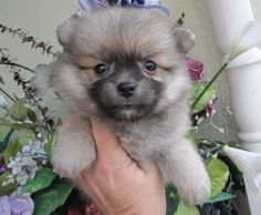 POMERANIAN FOR SALE TO ANY PET LOVER - Hello,i got some angelic Pomeranian Puppies ready for new loving homes.They are in the best of health conditions.All vaccinated and vet checked and come with all health papers.They are 10 weeks old babies.