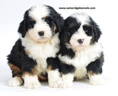 Mini bernedoodles, 8 weeks old from swissridgekennels. Bernese Mountain Dog Poodle, Bernadoodle, Bernedoodle Puppy, Different Dogs, Animal Crackers, Dog Life, Animal Kingdom, Puppy Love, Cute Puppies