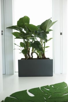 Pure Square Long Planter Pure Square Long Planter - A fabulous trough planter from the Elho Pure Range x L x High It has a raised base with planting depth of available in White or Anthracite. Built in Castors for ease of movement Indoor Trees, Indoor Plants, Plant Design, Garden Design, Long Planter, Plant Box, Decoration Plante, House Plants Decor, Office Plants
